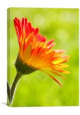Gerbera Mix Flower in Sunshine, Canvas Print