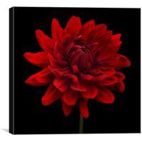 Red Dahlia Flower Black Background