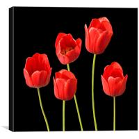 Red Tulips Black Background Wall Art, Canvas Print