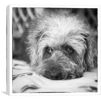 Cute Scruffy Pup in Black and White, Canvas Print