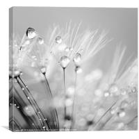 Dandelion Seed with Water Droplets in Black and Wh, Canvas Print