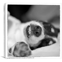 Cute Sleeping Jack Russell Terrier - Black and Whi, Canvas Print