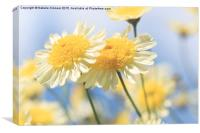 Dreamy Sunlit Marguerite Flowers Against Blue Sky, Canvas Print