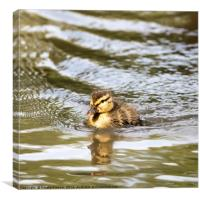 Duckling Paddling in the Sunshine, Canvas Print