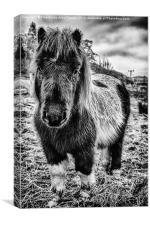 Cute Shetland Pony, Canvas Print
