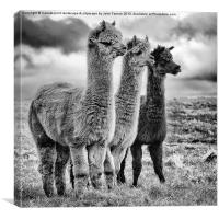 Llama lineup, Canvas Print