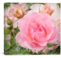 Fragrant Cloud Rose, Canvas Print
