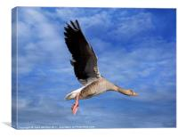 Grey Goose on the Wing, Canvas Print