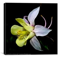 "Columbine, Aquilegia or ""Granny's Bonnet"", Canvas Print"
