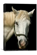 White Horse Portrait, Canvas Print