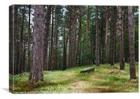 Pine Forest, Killarney, Kerry, Ireland, Canvas Print
