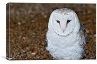 A Small Barn Owl (Tyto Alba), Canvas Print