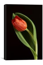 Red Tulip Portrait, Canvas Print
