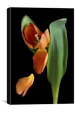 Falling Petal Tulip, Canvas Print