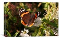 Late September butterfly, Canvas Print