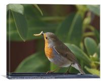 Robin feeding, Canvas Print