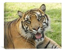 Bengal tiger at rest, Canvas Print