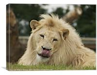 White lion resting, Canvas Print