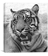 Bengal tiger black and white, Canvas Print