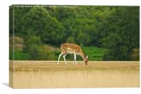 Lone Fallow deer, Canvas Print