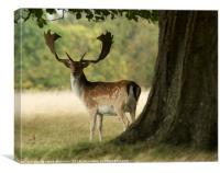 Deer looking back, Canvas Print