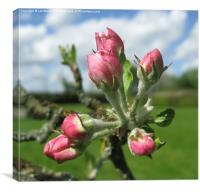 Budding Apple Blossom, Canvas Print