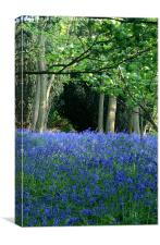 Bluebells in the sunshine, Canvas Print