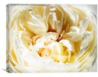 Floribunda Rose, Canvas Print