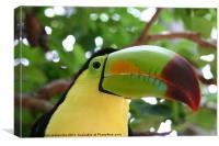 toucan, Canvas Print