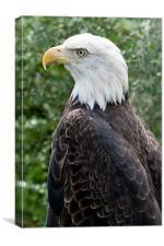 american bald eagle, Canvas Print
