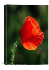 The Lone Poppy, Canvas Print