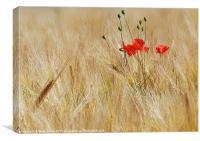 Corn Poppies, Canvas Print