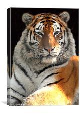 Tiger Boy, Canvas Print