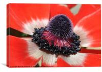 Anemone shine, Canvas Print