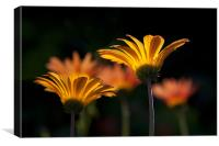 Backlit Gerbera, Canvas Print