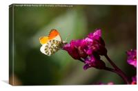 Orange Tipped Butterfly, Canvas Print