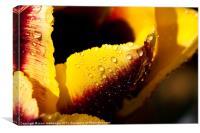 Sunny morning tulip, Canvas Print
