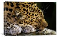 Sleeping Amur leopard, Canvas Print