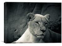 white lioness, Canvas Print