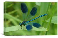 banded demoiselle, Canvas Print
