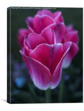 row of tulips, Canvas Print