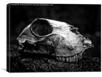 animal skull, Canvas Print