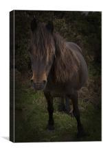 Dartmoor Pony, Canvas Print