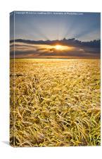 barley at sunset vertical, Canvas Print