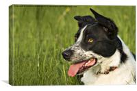 working border collie, Canvas Print