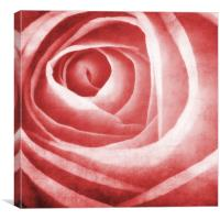 the beauty of the rose, Canvas Print