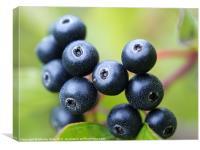 Blue berries, Canvas Print