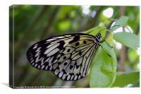 A Black n White Butterfly, Canvas Print