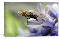 Fly licking flower stamen, Canvas Print