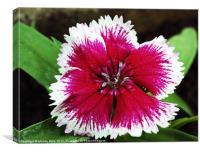 Dianthus flower, Canvas Print